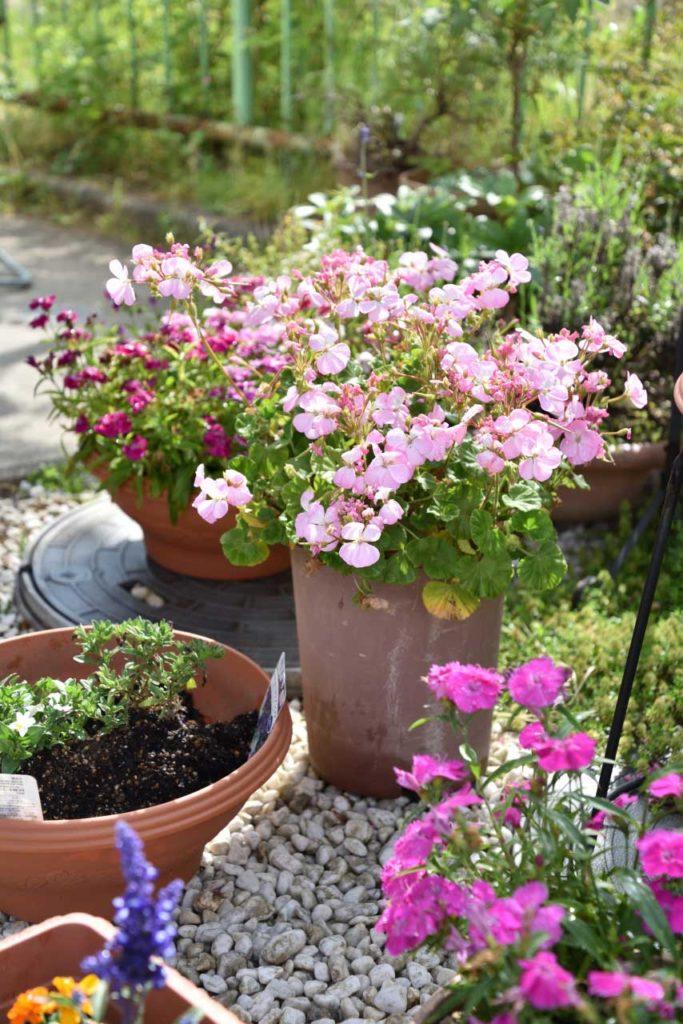 市川グレース教会 花壇の鉢植えです