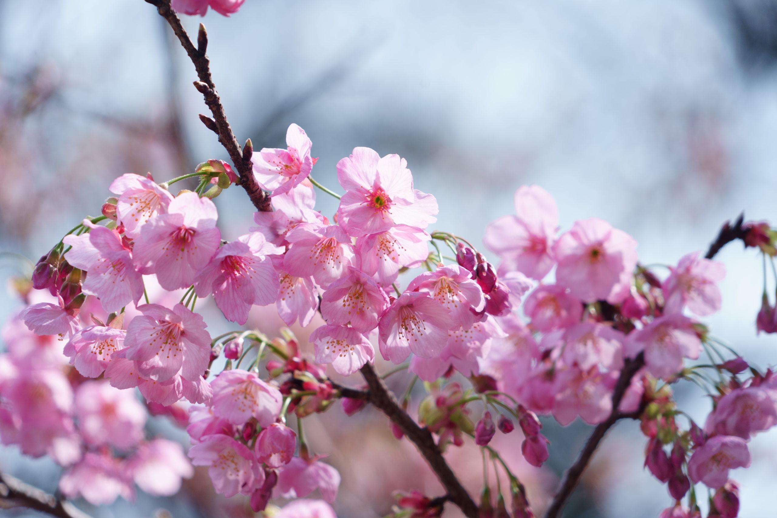桜2020_2